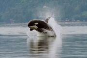 Orca porpoising.jpg