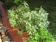 800px-Salvia officinalis in vaso.jpg