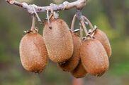Actinidia chinensis.jpg
