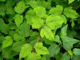 30859227028 3c76b0e230 b(Poison Ivy).jpg