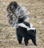 800px-Skunk about to spray.jpg