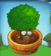 Firmiana in Flower Pot