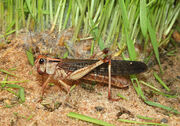 1024px-Locusta-migratoria-wanderheuschrecke.jpg