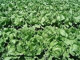 220px-Iceberg lettuce in SB.jpg