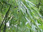 Phyllostachys aurea.jpg