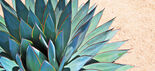 Agave(real).jpg