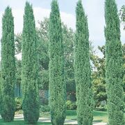 Italian-Cypress-2.jpg