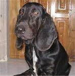 Blackbassethound.jpg