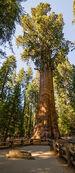 320px-General Sherman Tree 2013.jpg