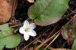 Epigaea repens.jpg
