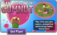 Plant of the Week Gumnut