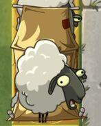 Sheep on Imp Porter Tent
