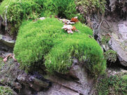 Broom-moss.jpg