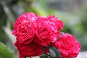 1024px-Rose flower in bundle.jpg
