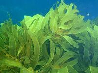 Kelp forest at Taranga pinnacles Hen and Chicken Islands PA232359.jpg