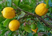 Citron Melon Citrus Medica Seeds Preserving Melon Seeds Etrog Citron Ju Yuan 7 1024x1024.jpg
