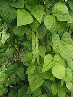 220px-Snijboon peulen Phaseolus vulgaris.jpg