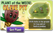 Plant of the Week Olive Pit