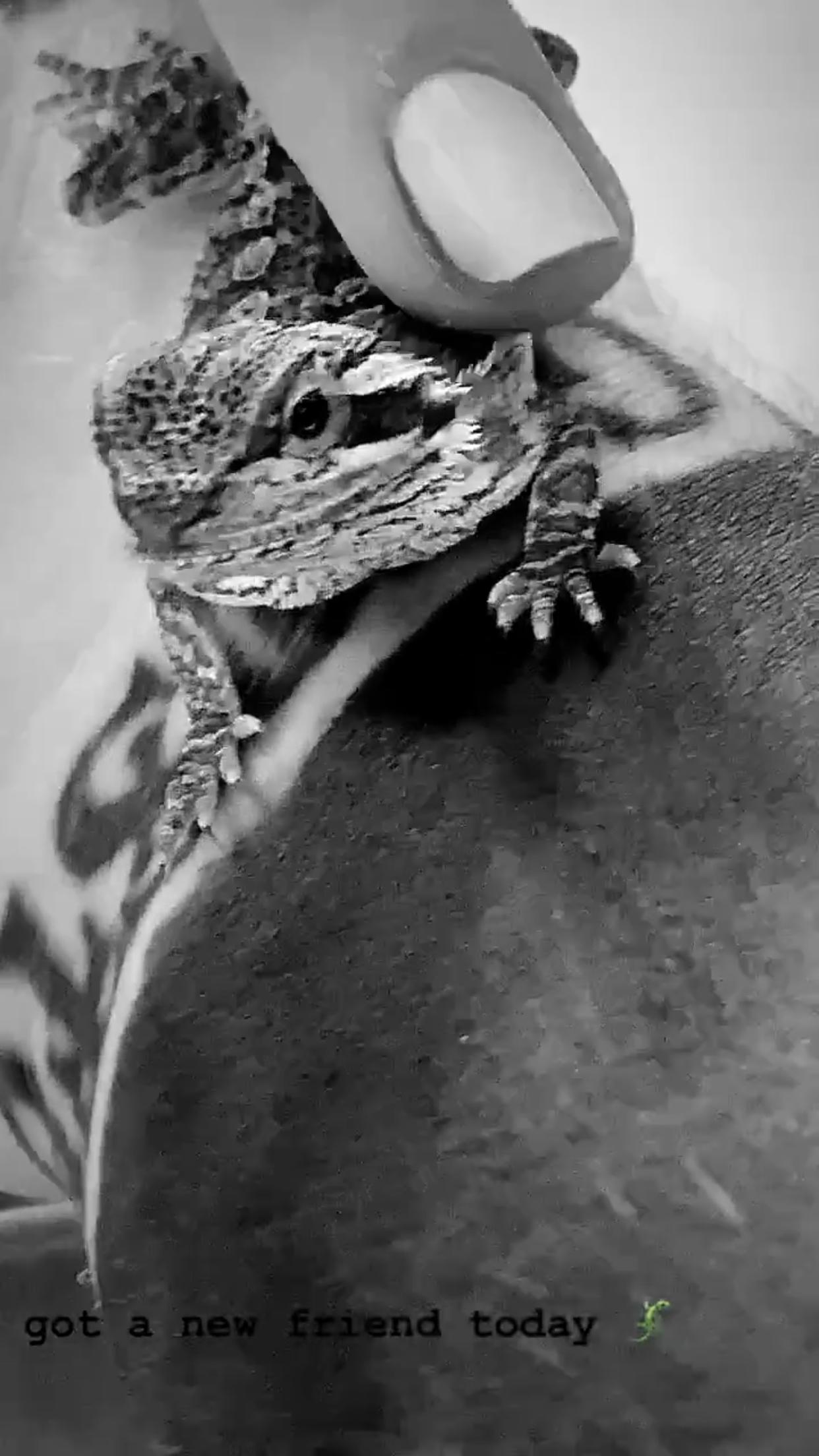 Unnamed Bearded Dragon