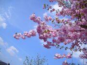 Flowering-cherry-tree w725 h544.jpg