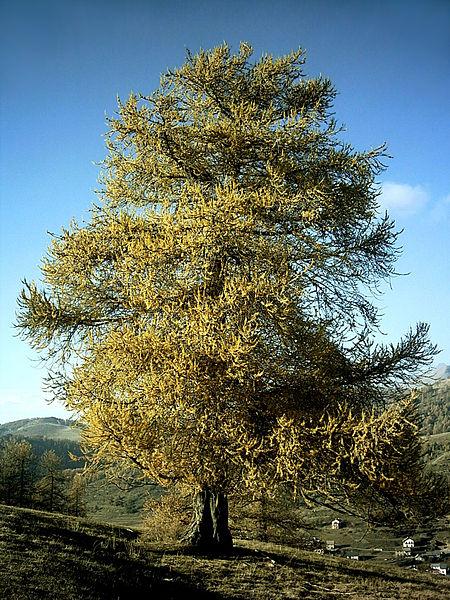 Rough Tree Wand