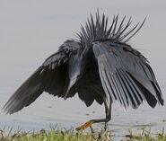 SCP-Heron