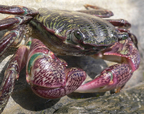 Crustacean Manipulation