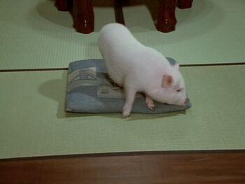 Pig Form