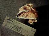 AMNH 6524