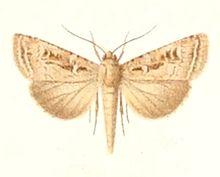 Agrotis laysanensis