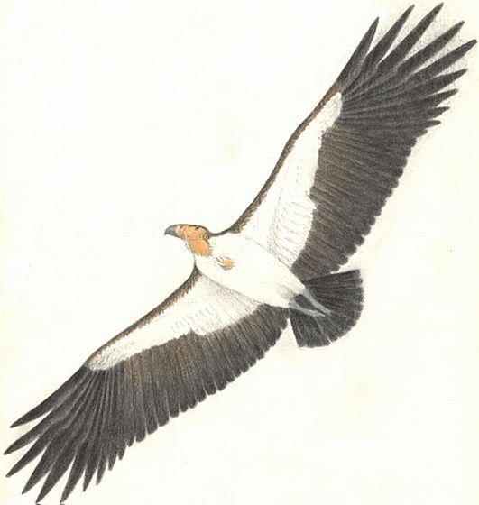 Aiolornis