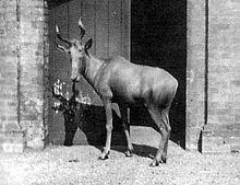 Alcephalus buselaphus buselaphus