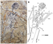 Esqueleto de Sinomacrops