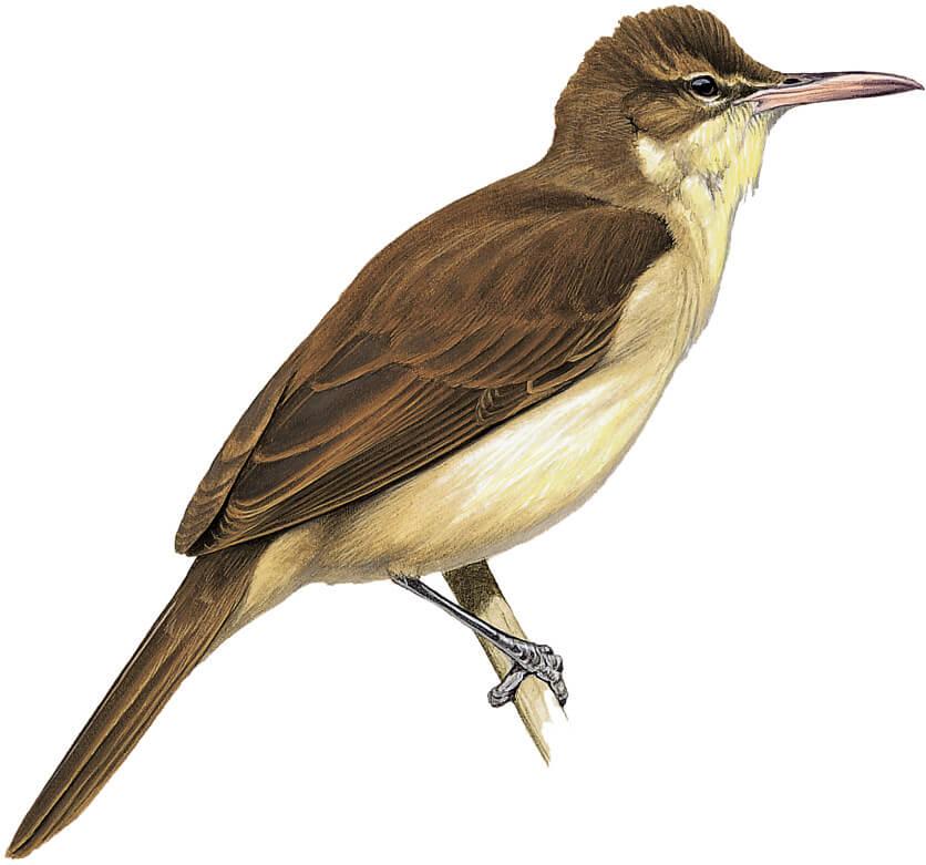 Acrocephalus yamashinae