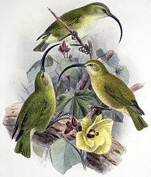 Akialoa lanaiensis