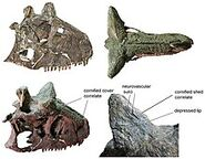 220px-Carnotaurus skull