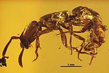 Acanthostichus hispaniolicus