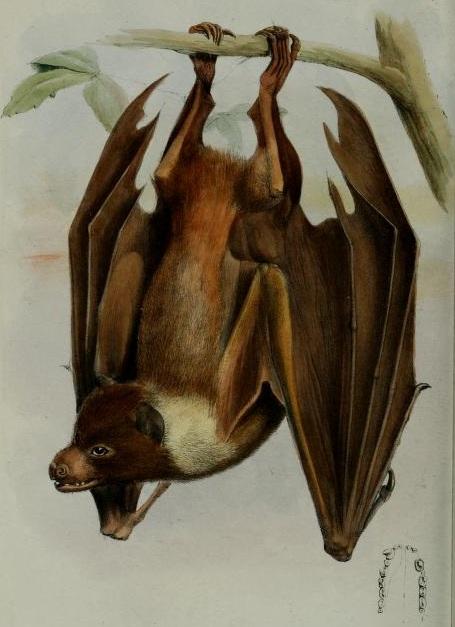 Acerodon lucifer