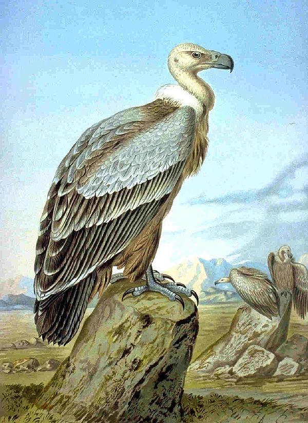 Aegypius jinninushanensis