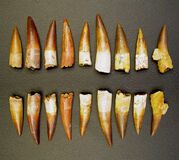 Spinosaurus Teeth.jpg