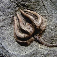 Agaricocrinus