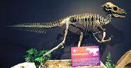 420px-Pachycephalosaurus wyomingensis dinosaur (Upper Cretaceous; Montana, USA)