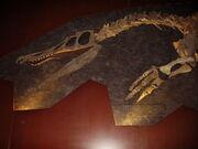 800px-Baryonyx head and pectoral limb detail NHM.jpg