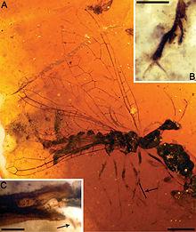 Amarantoraphidia