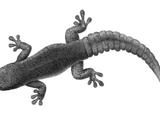 Дневной геккон Ньютона