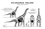 Atlasaurus skelet.jpg