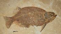 Отпечаток ископаемой рыбы Phareodus testis