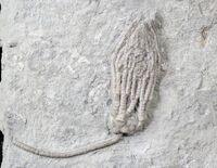 Abrotocrinus coreyi