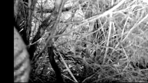 Striped_animal_on_trail_camera_in_Tasmania