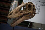Alioramus skull 03.jpg